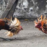online cockfighting game